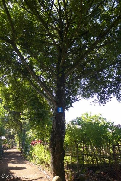 Pohon Pala Berusia Puluhan Tahun (Copy)
