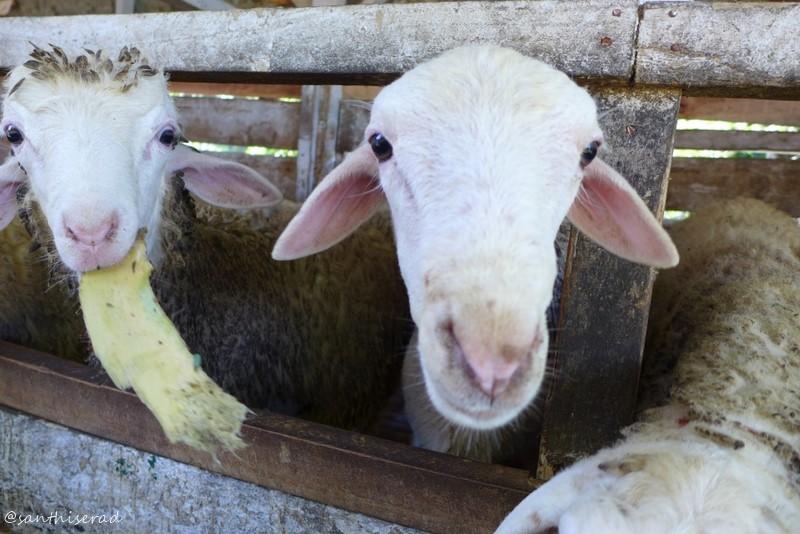 peternakan Domba (Copy)